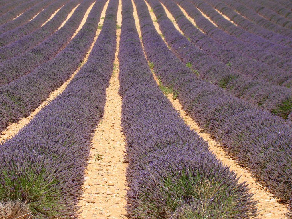 Valensole - Campos de lavanda na Provença