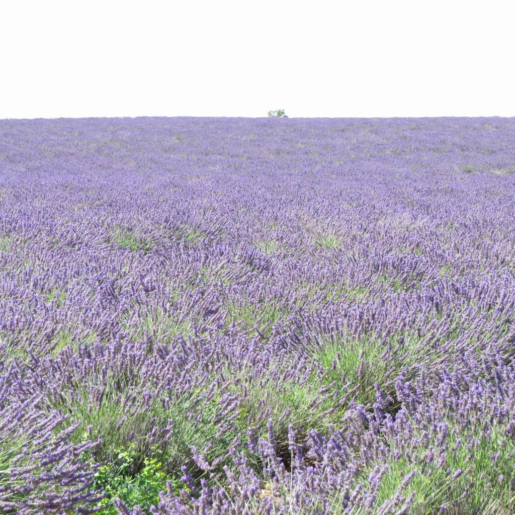 Valensole - Campos de lavanda e girassóis na Provença