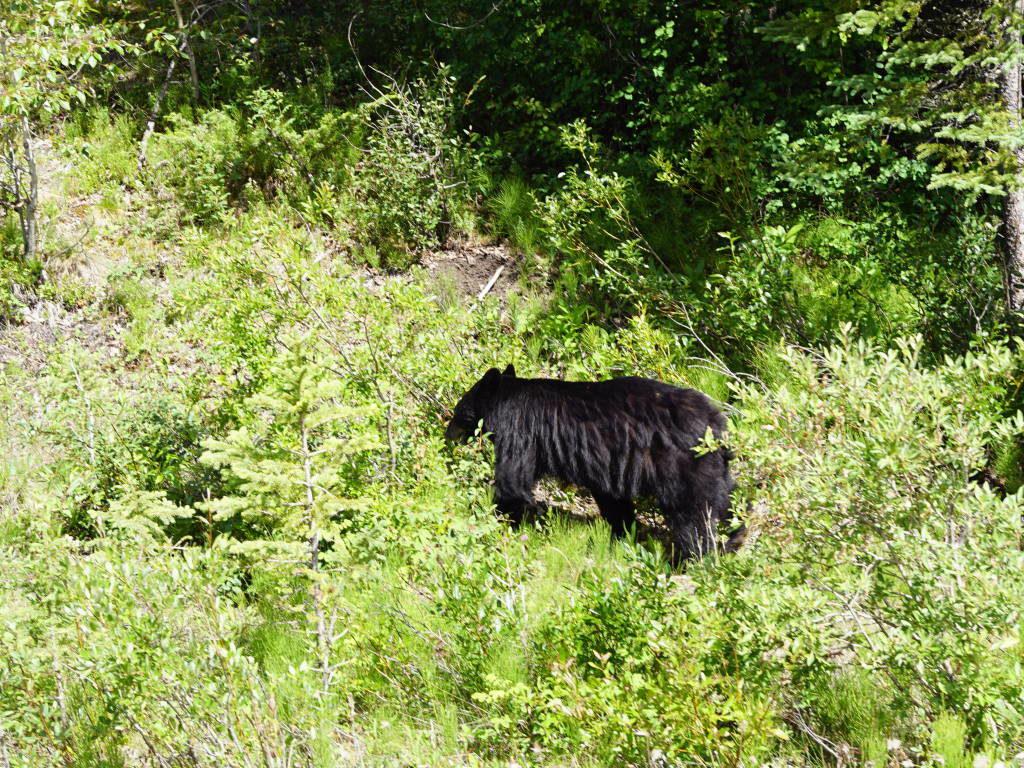 Urso em Jasper