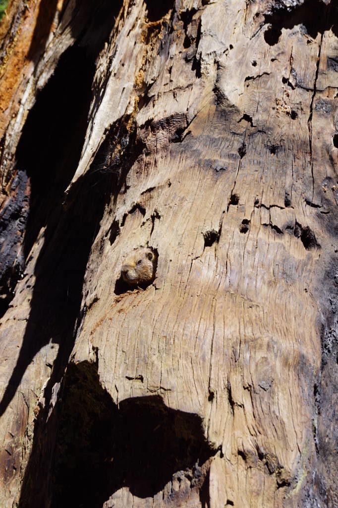 Marmota na Big Trees Trail - Parque Nacional da Sequoia Califórnia