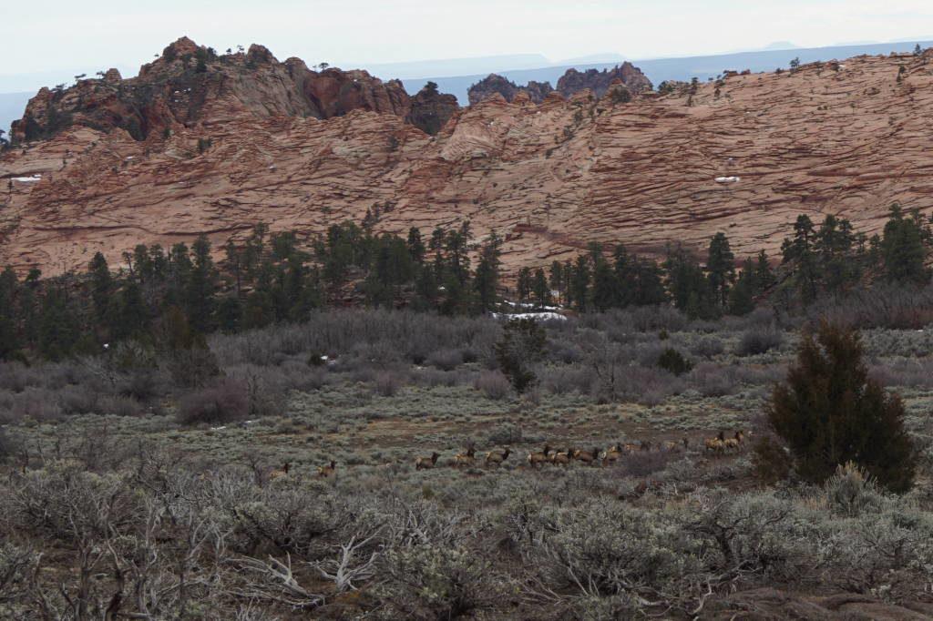 Cervos na Kolob Terrace Road - Zion National Park Utah EUA