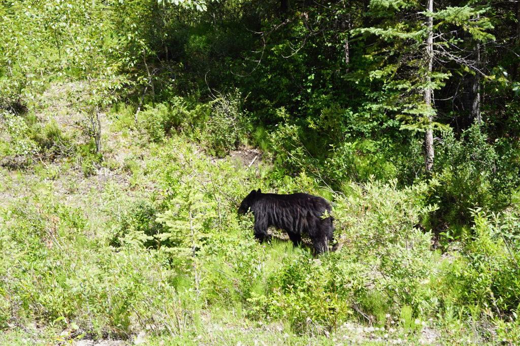 Urso - O que fazer no Parque Nacional Jasper Canadá
