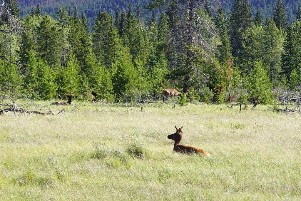 Estrada Hinton/Jasper - O que fazer no Parque Nacional Jasper Canadá