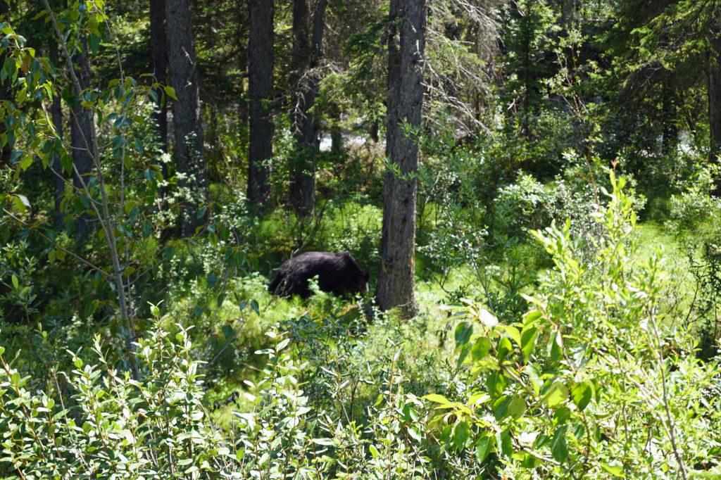 Ursos na Maligne Valley Road - O que fazer no Parque Nacional Jasper Canadá
